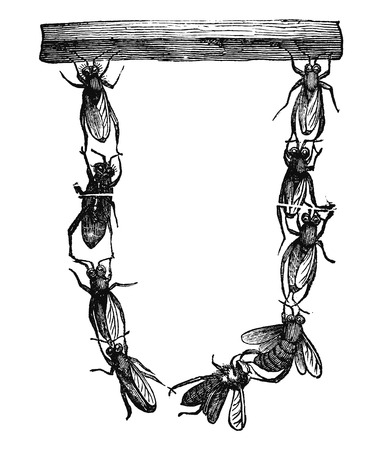 Antique vector drawing or engraving of grunge vintage illustration of group of honey bees or honeybees starting together to build new nest.From book Illustrierter Neuester Bienenfreund, printed in Leipzig, Germany 1852.