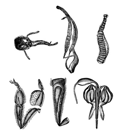 Antique vector drawing or engraving of grunge vintage illustration of bee anatomy body parts.Illustration from book Illustrierter Neuester Bienenfreund, printed in Leipzig, Germany 1852.