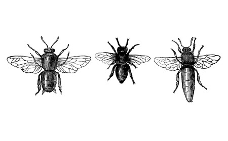 Antique vector drawing or engraving of grunge vintage illustration of comparison of honey bee or honeybee drone, worker and queen.From book Illustrierter Neuester Bienenfreund, printed in Leipzig, Germany 1852. Ilustração