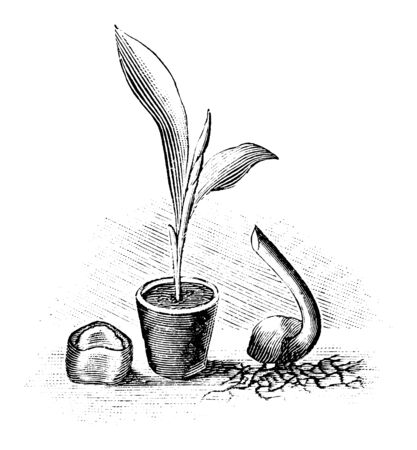 Antique vintage line art illustration, engraving or drawing of seed, seedling and sprouting seed of banana tree plant . From book Plants in Room, Prague, 1898.