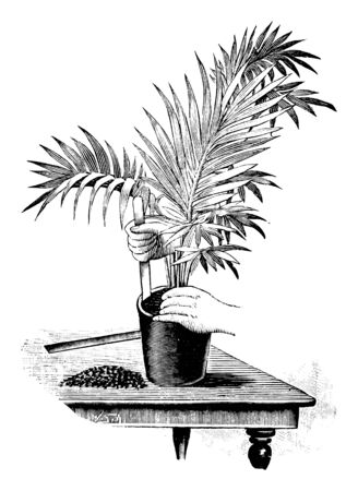 Antique vintage line art illustration, engraving or drawing of replanting or planting or repoting of young palm tree plant in pot. From book Plants in Room, Prague, 1898. Ilustracja