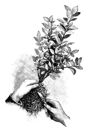 Antique vintage line art illustration, engraving or drawing of replanting or repoting of plant, cutting the roots. From book Plants in Room, Prague, 1898.