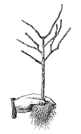 Antique vintage line art illustration, engraving or drawing of hand holding bare roots tree young plant or seedling . From book Plants in Room, Prague, 1898. Ilustracja