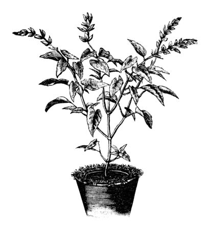 Antique vintage line art illustration, engraving or drawing of Salvia flower or plant in pot or flowerpot . From book Plants in Room, Prague, 1898. Ilustracja