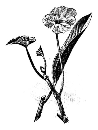 Antique vintage line art illustration, engraving or drawing of cuttings of pelargonium and ficus plants or flowers for cloning and propagation . From book Plants in Room, Prague, 1898.