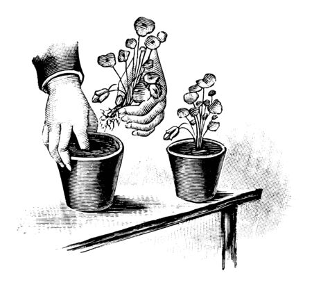Antique vintage line art illustration, engraving or drawing of planting of grown plan seedlings in flower pot . From book Plants in Room, Prague, 1898.