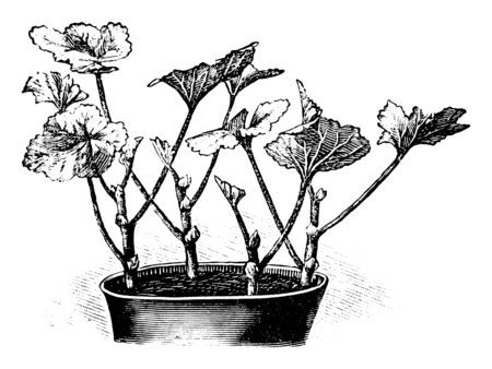 Antique vintage line art illustration, engraving or drawing of Pelargonium plant cuttings in flower pot, propagation and cloning . From book Plants in Room, Prague, 1898. Ilustracja