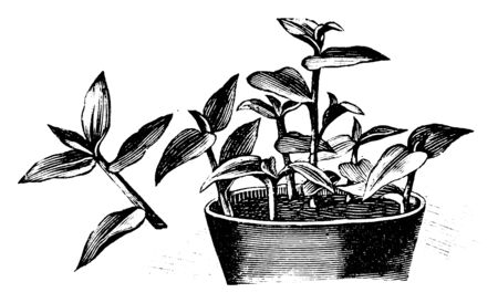 Antique vintage line art illustration, engraving or drawing of pot with Tradescantia cuttings, propagation and cloning . From book Plants in Room, Prague, 1898. Ilustracja
