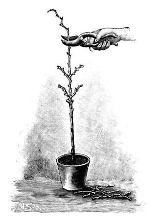 Antique vintage line art illustration, engraving or drawing of hand with clippers cutting young rose tree or plant in pot . From book Plants in Room, Prague, 1898.