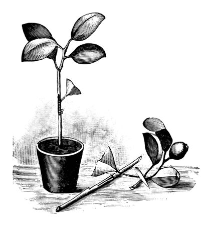 Antique vintage line art illustration, engraving or drawing of budding or grafting of orange tree in pot. From book Plants in Room, Prague, 1898.