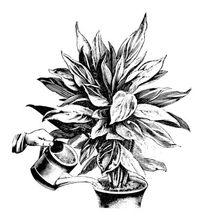 Antique vintage line art illustration, engraving or drawing of watering of Phrynium plant in pot with can. From book Plants in Room, Prague, 1898. Ilustracja
