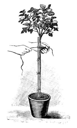Antique vintage line art illustration, engraving or drawing of rope fastening of tree plant in pot . From book Plants in Room, Prague, 1898.