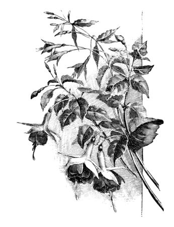 Antique vintage line art illustration, engraving or drawing of branch of blooming Fuchsia plant or flower. From book Plants in Room, Prague, 1898.