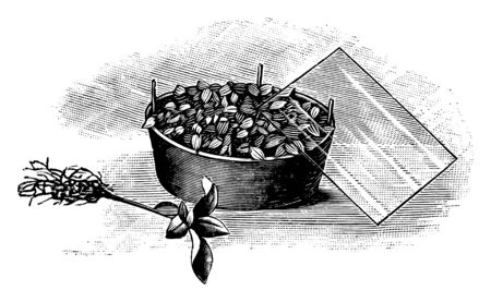Antique vintage line art illustration, engraving or drawing of growing of plant seedlings under cover . From book Plants in Room, Prague, 1898.