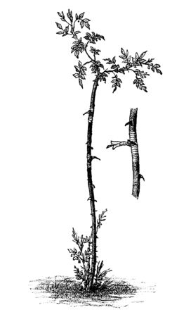 Antique vintage line art illustration, engraving or drawing of wild dog rose tree budding or grafting. From book Plants in Room, Prague, 1898.