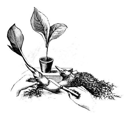 Antique vintage line art illustration, engraving or drawing of rootstock or rhizome cutting and propagation of Canna plant or flower. From book Plants in Room, Prague, 1898.