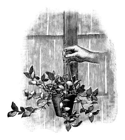 Antique vintage line art illustration, engraving or drawing of hand holding hanging plant or flower pot. From book Plants in Room, Prague, 1898.