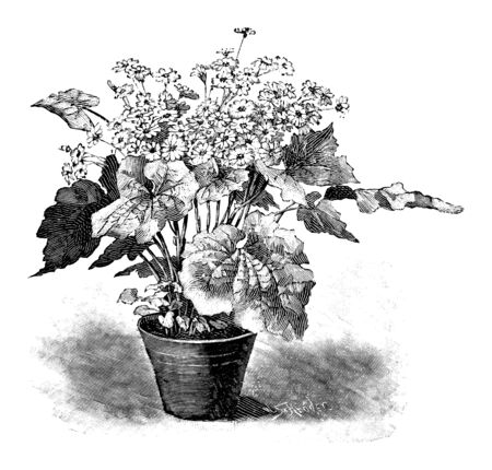 Antique vintage line art illustration, engraving or drawing of blooming Cineraria plant or flower in pot. From book Plants in Room, Prague, 1898. Ilustracja