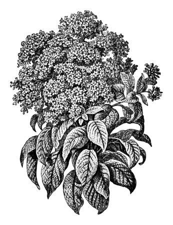 Antique vintage line art illustration, engraving or drawing of blooming Heliotropium plant or flower. From book Plants in Room, Prague, 1898.