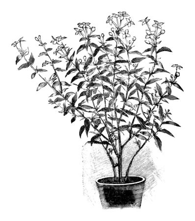 Antique vintage line art illustration, engraving or drawing of Blooming Bouvardia plant or flower in pot. From book Plants in Room, Prague, 1898.