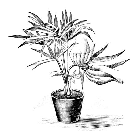Antique vintage line art illustration, engraving or drawing of hand cleaning leaves of small palm plant in pot . From book Plants in Room, Prague, 1898.