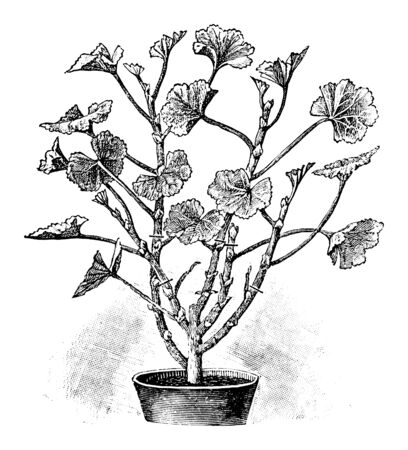 Antique vintage line art illustration, engraving or drawing of spring cut of pelargonium plant or flower in pot . From book Plants in Room, Prague, 1898.