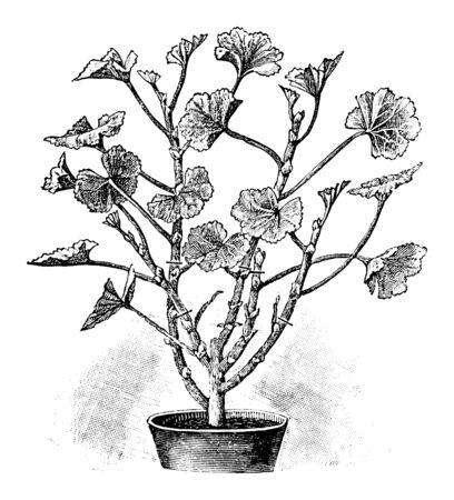 Ilustración de arte de línea vintage antigua, grabado o dibujo de corte de primavera de planta de pelargonium o flor en maceta. Del libro Plantas en la habitación, Praga, 1898.