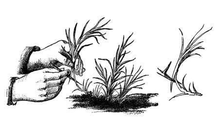 Antique vintage line art illustration, engraving or drawing of hand cutting Carnation or Dianthus or clove pink plant or flower. From book Plants in Room, Prague, 1898.