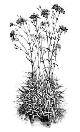 Antique vintage line art illustration, engraving or drawing of clump of blooming Carnation or Dianthus or clove pink plant or flower in pot. From book Plants in Room, Prague, 1898.