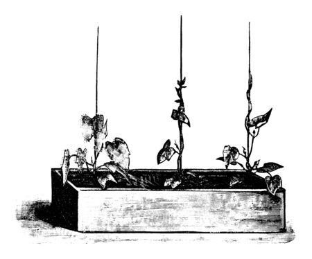 Antique vintage line art illustration, engraving or drawing of Ipomoea flower or plant in flower box . From book Plants in Room, Prague, 1898.