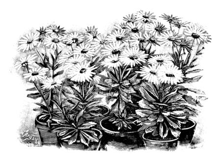 Antique vintage line art vector illustration, engraving or drawing of several blooming Nipponanthemum Nipponicum or nippon daisy plants in pots.