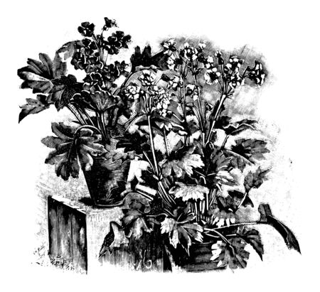 Antique vintage line art vector illustration, engraving or drawing of several blooming or flowering primula sinensis plants in pots.