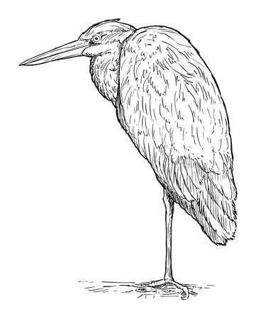 Grey Heron Bird Standing. Vector Drawing or Illustration