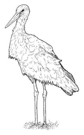White Stork Bird Standing. Vector Drawing or Illustration