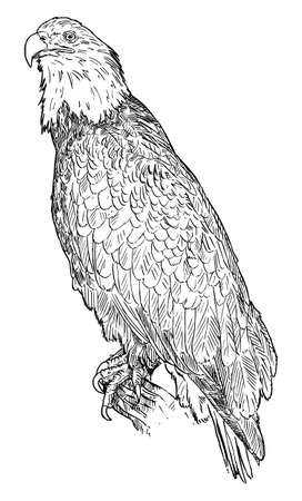 Bald Eagle Bird. Vector Drawing or Illustration Banco de Imagens - 166544552