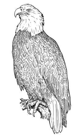 Bald Eagle Bird. Vector Drawing or Illustration Ilustração