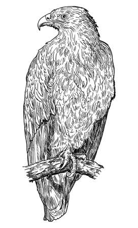 Steppe Eagle Bird. Vector Drawing or Illustration