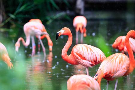wading: flemingo Stock Photo