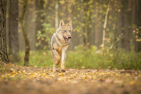 young wolf in forest