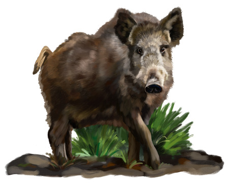 Wild boar in grass on white background