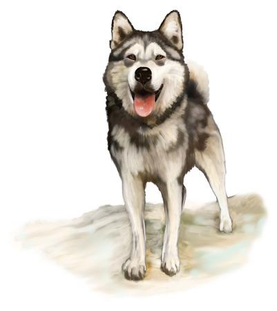 Painting Nordic dog Alaskan Malamute Stock Photo - 25366516
