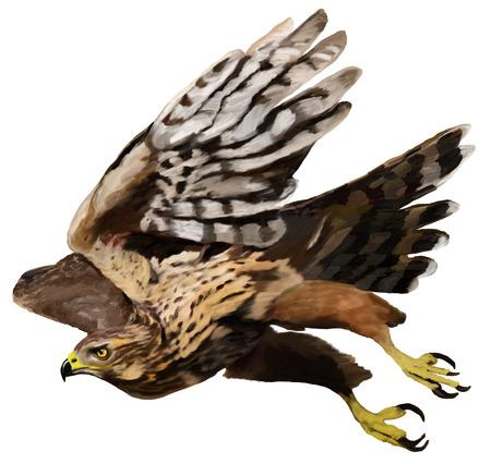 goshawk: Flying predator - Goshawk Accipiter Stock Photo