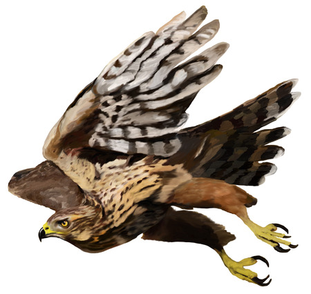 azor: Volar depredador - Azor Accipiter