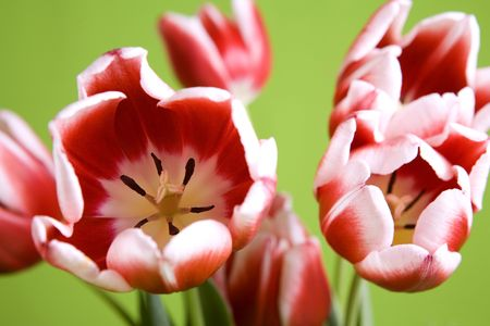 beautiful red and white tulip flowers on a green background photo
