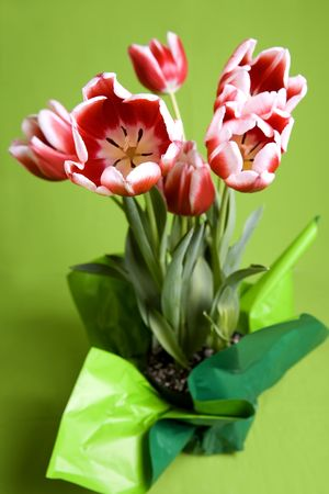 beautiful red and white tulip flowers on a green background Stock Photo - 768828
