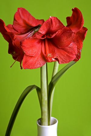 beautiful red amaryllis in white vase on the green isolated background photo