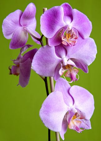 pretty small purple orchid on isolated green background photo