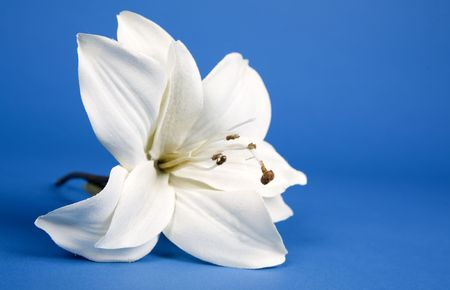 blue backgrounds: white artificial lilly flower on the blue background