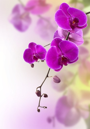 carpel: beautiful purple orchid on white background