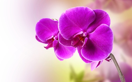beautiful purple orchid on white background photo